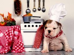 Little Bull Dog with Chefs Hat on and a Little Kitchen in Red and White.