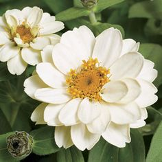 Profusion Double White Zinnia