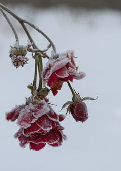 Find images and videos about flowers, winter and rose on We Heart It - the app to get lost in what you love. Rose Photography, Winter Photography, Art Blanc, Frozen Rose, Raindrops And Roses, Winter Love, Winter Flowers, Winter Scenery, Flower Aesthetic