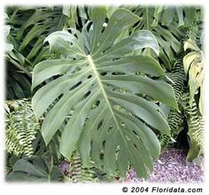 Monstera Deliciosa (windowleaf, ceriman, split-leaf philodendron, monstera, Mexican breadfruit, Swiss cheese plant)