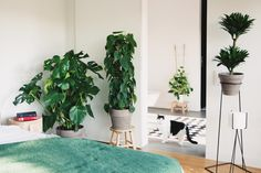 Philodendron Scandens, Plants, Plant, Planets