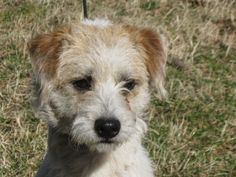Poptart is an adoptable Jack Russell Terrier Dog in Hagerstown, MD.  KID TESTED MOTHER APPROVED Poptart is a 1 yr old female shih-tzu/Jack Russell Terrier mix who is looking for a new forever home. Sh...