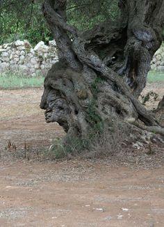 Olivenbaum 4