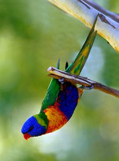 green birds of the world | Birds Of The World: Rainbow Lorikeet- trichoglossus haematodus