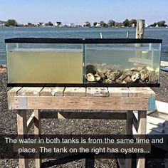 Oysters Are Great Water Filters