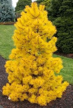 Pinus contorta 'Chief Joseph' - Dwarf evergreens and conifers. Very hard to come by in the trade! Stunning golden needles!