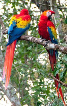 Group of macaws in Copan Ruins, Honduras