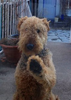 My Airedale knocking on back sliding door