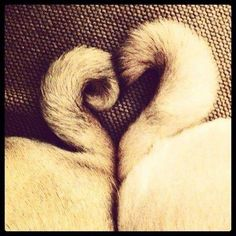 This is the cutest thing ever. Looks like my babies' tails. They are so in love with each other :) #pug