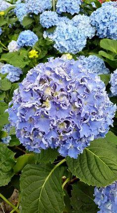 Hydrangea 'Spike Blue':