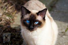 Cute Kittens, Cats And Kittens, Ragdoll Kittens, Gato Cornish Rex, Most Popular Cat Breeds, Balinese Cat, Cat With Blue Eyes, Snowshoe, Cat Wallpaper