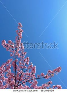 Pink cherry blossoms with blue sky on spring season.
