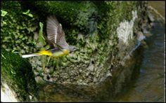 La bergeronnette des ruisseaux