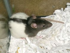The Best Food For Healthy Pet Rats  ... from PetsLady.com ... The FUN site for Animal Lovers