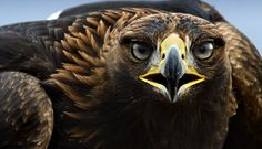 El Aguila Real (Buenas Fotos)