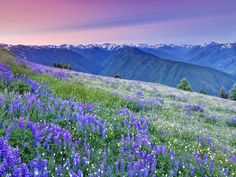 Mixed Wildflowers Mostly Lupine and Pussytoes Hurricane Ridge Olympic National Park Washington by Dennis Frates  http://ift.tt/27Cs3s8  #standard #mountains #sunsets #tropical #flowers #photographers #dennisfrates #orangesunset #skies #sun #sunup #sundown #sunlight #sunrises #sunrising #sunsets #sunsetting #wildflowerfield #pacificnorthwestplants #lupines #olympicmountains #like4like #picoftheday #photooftheday #canvasprints #rolledcanvas #gallerywrapped #prints #follow #like4follow