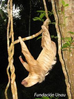Two toed sloth-Choloepus hoffmanni