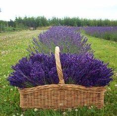 Media cache pinimg lavender plant care - a Lavender Plant Care, Lavender Green, French Lavender, Lavender Scent, Lavender Flowers, Purple Flowers, Lavender Decor, Provence Lavender, Lavender Cottage