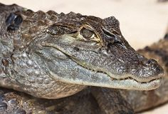 A caiman animal totem could easily be a symbol for an efficient warrior or a sneaky and calculating villain. Animal Meanings, Sun Sign, Animal Totems, Spirit Animal, Animal Kingdom, Symbols, Animals, Animales, Animaux