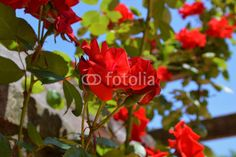 Bright red roses and blue sky