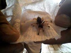 5298eaaf264c Tarantula Canada (Unboxing Video). YouTube
