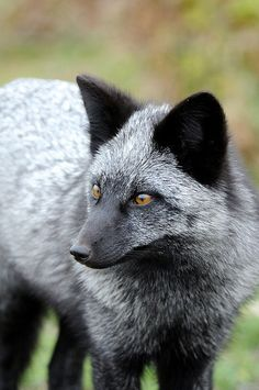 The Silver Fox (vulpes vulpes) does occur in Kentucky.  It is simply an uncommon color morph of the Red Fox.