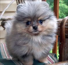 Blue Merle Pomeranian Puppies Photos More Blue Merle Pomeranian, Spitz Pomeranian, Teacup Pomeranian, Pomeranians, Small Pomeranian, Cute Puppies, Cute Dogs, Dogs And Puppies, Awesome Dogs
