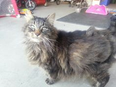 Found Cat - Tabby - Aurora, ON, Canada L4G 2L7 on October 20, 2013 (16:00 PM)