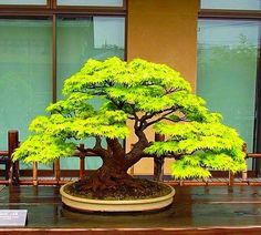 If you're in making your very first bonsai, try boxwood. With this quick introduction, you ought to be in a position to choose a tree that fulfills your wishes, either an indoor Bonsai or an outdoor. Bonsai tree plants can… Continue Reading → Bonsai Tree Care, Indoor Bonsai Tree, Mini Bonsai, Bonsai Acer, Bonsai Plants, Bonsai Garden, Unique Trees, Small Trees, Ikebana