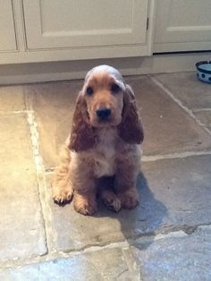 golden cocker spaniel puppies for sale - Google Search