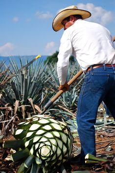 Jimador cortando las pencas del agave. Tequila, Jalisco