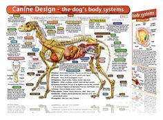 Canine Anatomy Chart -. Understanding canine anatomy is not only useful to the animal professional, but also the average dog owner. By knowing about the dog's body, you can often detect a health issue early and address it before it becomes a serious problem. The chart is beautifully illustrated and double sided which gives easy access to vital facts in the essentials of canine anatomy. $12.95