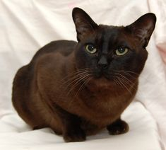 There are many different type of cats and most cats have something unique about them. Some of the cats are unique with different body structure. Different Types Of Cats, Kinds Of Cats, Cat Breeds, Animals, Cat, Animales, Animaux, Animal, Animais