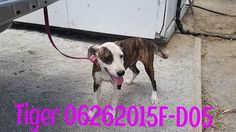 ***SUPER SUPER URGENT!!!*** - PLEASE SAVE TIGER!! - EU DATE: 7/28/2015 -- Tiger (06262015f-D05) Breed:Pit Bull Terrier (mix breed) Age: Young adult Gender: Female Size: Medium Special needs: hasShots, Shelter Information: Delano Animal Shelter 1525 Mettler Avenue  Delano, CA Shelter dog ID: 06262015F-D05 Contacts: Phone: 661-721-3377 Name: Delano Animal Control email: SHELTER661@GMAIL.COM  Read more at http://www.dogsindanger.com/dog/1435351138678#Jkl3AqzFc2SyLMVI.99