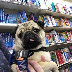 Browsing the holiday guides #purepugspp #pug #pugs #pugsofinstagram #pugbasement #pugsproud_feature #badasspugclub #bubblebeccahat #cupcake_pug #dailydoseofpugs #eddthepug #flatnosedogsociety #gilesfriends #heyportiapickme #henrys1inamillion #itslolathepug #lolasfotw #lacyandpaws #mysquishyliciousfriends #puglife #speakpug #squishyfacecrew #thetomcoteshow #zerozeropug by alfiethepug_beat