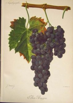 Prints Old & Rare - Wine Making and Wine Grapes - Vintage - Vinting