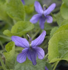Viola odorata 'Large Flowere Blue' Highly scented, large lavender-blue flowers, held well above the foliage.