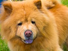 Chow Chow...I love these dogs!