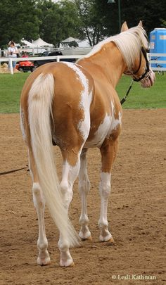 """Sato"" Palomino Dominant White Thoroughbred"