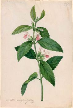 Georg Dionysius Ehret | Melittis Melissophyllum | 1760s | The Morgan Library & Museum