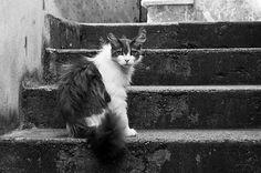 Gatto di Monte Isola