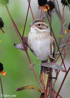 [][][] Clay Coloured Sparrow. Family Emberizidae. His eye is on the sparrow