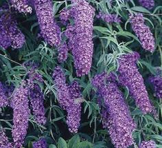 Butterfly Bush - Attracts Hummingbirds and Butterflies.