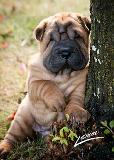CHINESE SHAR PEI FROM TUCK 'N ROLL ACRES...OMG he/she is sooo cute!!