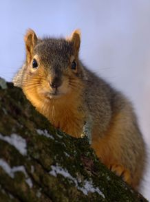 Fox Squirrel - Sciurus niger  The fox squirrel is one of four squirrel species in Ohio; gray, red, and flying squirrels are the other three. Of the four, the fox squirrel is the largest. Fox squirrels were not originally inhabitants of Ohio. #wildohio #ohiomammals