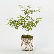 Grandma's Ghost Japanese Maple