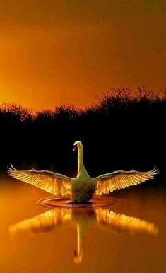Image IMG 4419 in Beautiful birds album Pretty Birds, Beautiful Birds, Animals Beautiful, Beautiful Pictures, Beautiful Swan, Nature Animals, Animals And Pets, Animal Photography, Nature Photography