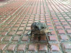 Lately seen a toad on a rainy morning!