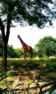 Reticulated Giraffe at the Pittsburgh Zoo:   Edited with Photogene       Sent from my iPhone