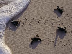 Endangered Greenback Turtle Hatchlings Enter the Sea, Yucatan, Mexico by Kenneth Garrett